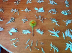 Counting a Dahlia's petals